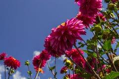 Dahlia's die voor de hemel bereiken Stock Foto's