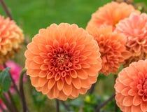 Dahlia's in een bloemtuin met briljante oranje bloei stock fotografie