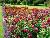 Dahlia's in een tuin stock foto's