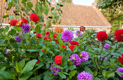 Dahlia's in garden Stock Image