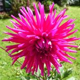 Dahlia. Shocking pink Dahlia Stock Photo