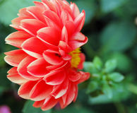 Dahlia Side View. Close up side view of Red dahlia flower Stock Photo