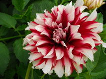 Dahlia siedlerstolz royalty free stock photography