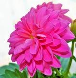 Dahlia. Single Pink Dahlia Stock Photos