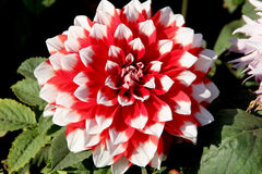 Dahlia 'Skipley Spot' Stock Photo