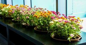 Dahlia small garden Stock Photo