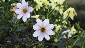 Dahlia at Spring season stock footage
