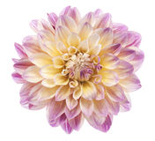 Dahlia. Studio Shot of Fuchsia and Yellow Colored Dahlia Flower Isolated on White Background. Large Depth of Field (DOF). Macro. Symbol of Elegance, Dignity and Stock Photos