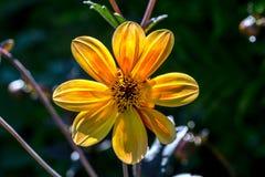 Dahlia Sunlight amarilla foto de archivo libre de regalías