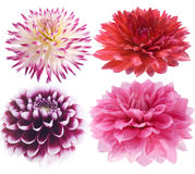 Dahlia sur un fond blanc Photo stock