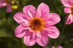 Dahlia 'Teesbrooke Red Eye' Royalty Free Stock Images
