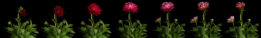Dahlia Time-lapse Series. Time lapse series of pink Dahlia flowers blooming. Studio shot over black Royalty Free Stock Photos
