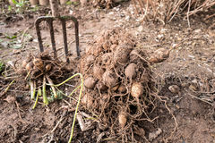 Dahlia tubers Royalty Free Stock Images