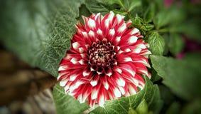 Dahlia växande blomma för parbladig dahlia arkivbild