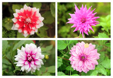 Dahlia or valley flowers collection set in different colors Royalty Free Stock Photography