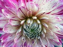 Georgina Dahlia variabilis. Dahlia variabilis close up photo image Stock Photos