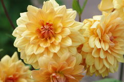 Dahlia variabilis. Dahlia is a genus of bushy, tuberous, herbaceous perennial plants native to Mexico Stock Photos