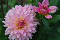 Dahlia variabilis Royalty Free Stock Images