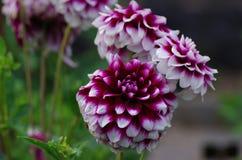 Dahlia variabilis Stock Photos
