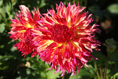 Dahlia variety flowers. A Dahlia flower variety taking in full sun. Visiting a farm of Dahlias in Oregon Stock Photo