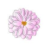Dahlia Royalty Free Stock Image