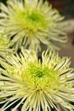 Dahlia vert et blanc Photographie stock libre de droits