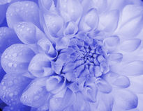 Dahlia with water drops. Stock Photos