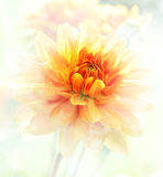Dahlia Watercolor Royalty Free Stock Photo