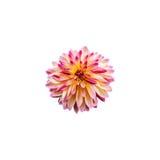 Dahlia on white background. Isolate Royalty Free Stock Images