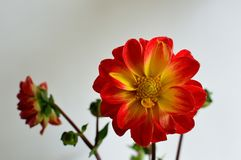 Dahlia white background red tipped yellow petals with yellow eye closeup. Dahlia is a genus of bushy, tuberous, herbaceous perennial plants native to Mexico stock images