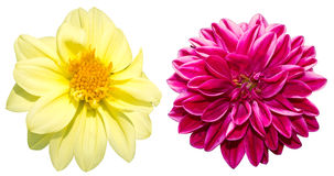 Dahlia in a white background Royalty Free Stock Photography