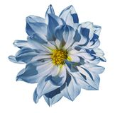 Dahlia White-blue flower  on an isolated white background with clipping path. Closeup. No shadows. Nature Stock Images