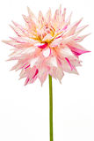 Dahlia, white, pink colored flower head with green stem Royalty Free Stock Photos