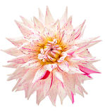 Dahlia, white, pink colored flower head on white background Stock Photography