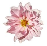 Dahlia White-pink flower  on an isolated white background with clipping path. Closeup. No shadows. Royalty Free Stock Images