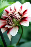 Dahlia white and red. Red and white dahlia flower  with a floral spider Royalty Free Stock Photo