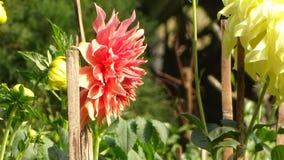 Dahlia winter beauty. Winter season flowers royalty free stock images