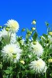 Dahlia in witte kleur Royalty-vrije Stock Foto's