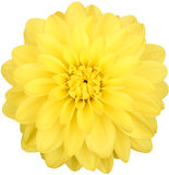 Dahlia, yellow colored flower head on white background Stock Image
