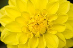 Dahlia yellow flower Royalty Free Stock Photo