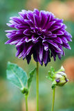 Dahlia zorro Stock Photo