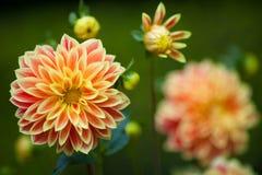 Dahliaapelsin- och gulingblommor i trädgårds- closeup för full blom royaltyfri foto