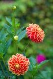 Dahliaapelsin- och gulingblommor i trädgårds- closeup för full blom Fotografering för Bildbyråer