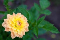 Dahliaapelsin- och gulingblommor i trädgårds- closeup för full blom royaltyfri fotografi