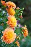 Dahliaapelsin- och gulingblommor i trädgårds- closeup för full blom Royaltyfria Foton