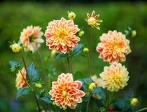 Dahliaapelsin- och gulingblommor i trädgårds- closeup för full blom royaltyfria bilder