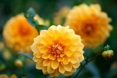 Dahliaapelsin- och gulingblommor i trädgårds- closeup för full blom Royaltyfri Bild