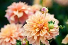 Dahliaapelsin- och gulingblommor i trädgårds- closeup för full blom Arkivfoto