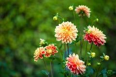 Dahliaapelsin- och gulingblommor i trädgårds- closeup för full blom arkivfoton