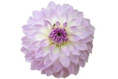 Dahliabloem Royalty-vrije Stock Fotografie